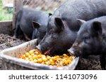 Black Vietnamese Pigs On The...
