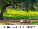 Pigs Resting In The Shade Of A...