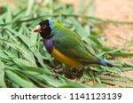 the gouldian finch  erythrura... | Shutterstock . vector #1141123139