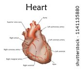 human heart with a description. ... | Shutterstock .eps vector #1141135880