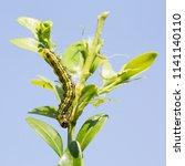 caterpillar of the box tree... | Shutterstock . vector #1141140110
