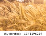 rye spiked wheat on the field... | Shutterstock . vector #1141196219