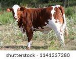 beef cow in the pasture   Shutterstock . vector #1141237280