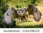 Stock photo a beautiful huge european eagle owl flying low over fields and trees 1141238219