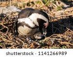 a penguin chick an ist mother...   Shutterstock . vector #1141266989