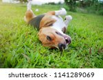 Stock photo playful beagle dog lying on the green grass outdoor in the evening which being filled by golden 1141289069