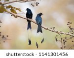 pair of greater racket tailed... | Shutterstock . vector #1141301456