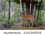 white tailed deer fawn ... | Shutterstock . vector #1141345553