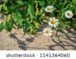 four white wild flowers of a... | Shutterstock . vector #1141364060