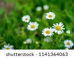 wild white flowers of a... | Shutterstock . vector #1141364063