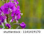 one branch of wild flowers of... | Shutterstock . vector #1141419170