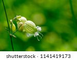 one branch of wild flowers of... | Shutterstock . vector #1141419173