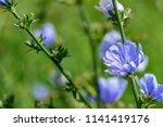 branch of wild flowers of blue... | Shutterstock . vector #1141419176