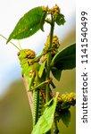 grasshoppers  acridians ...   Shutterstock . vector #1141540499