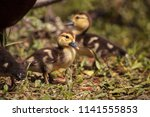 Little Brown Baby Muscovy...