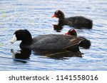 Am American Coot With Two...