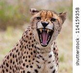 Very Closeup Of Cheetah. Afric...