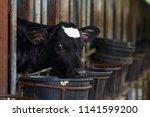 Calf care. dairy farm...