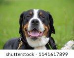 a purebred grosser schweizer... | Shutterstock . vector #1141617899