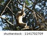 a lar gibbon hylobates lar ... | Shutterstock . vector #1141702709
