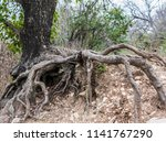 Exposed Roots Of A Tree In...