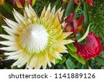 white king protea  protea... | Shutterstock . vector #1141889126