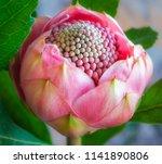 delicate pink waratah flower... | Shutterstock . vector #1141890806
