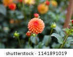 Orange Barbarry Ball Dahlia...