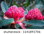 gorgeus large pink waratahs... | Shutterstock . vector #1141891706