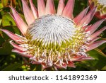 a 'giant' pink king protea in... | Shutterstock . vector #1141892369