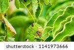 grasshoppers  acridians ...   Shutterstock . vector #1141973666
