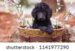 Stock photo standard poodle puppy in basket 1141977290