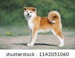 Akita Inu Puppy Conformation....