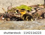 side view of a mallard duckling ... | Shutterstock . vector #1142116223