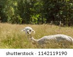 a white alpaca on a natural... | Shutterstock . vector #1142119190
