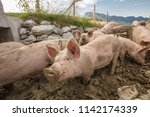 happy and dirty pigs on a open... | Shutterstock . vector #1142174339