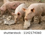 happy and dirty pigs on a open... | Shutterstock . vector #1142174360