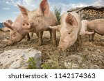 happy and dirty pigs on a open... | Shutterstock . vector #1142174363