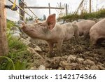 happy and dirty pigs on a open... | Shutterstock . vector #1142174366
