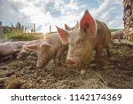 happy and dirty pigs on a open... | Shutterstock . vector #1142174369