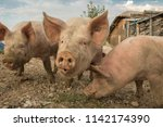 happy and dirty pigs on a open... | Shutterstock . vector #1142174390