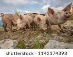 happy and dirty pigs on a open... | Shutterstock . vector #1142174393