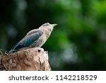 indian roller is a blue bird.... | Shutterstock . vector #1142218529