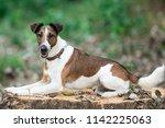 Smooth Fox Terrier Lies On A...