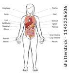 internal organs  female body  ... | Shutterstock .eps vector #1142226506