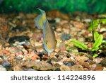 cichlasoma sajica fish in... | Shutterstock . vector #114224896