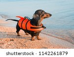 dachshund breed dog  black and... | Shutterstock . vector #1142261879