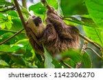 sloth in a tree puerto viejo ... | Shutterstock . vector #1142306270