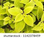 closeup colorful coleus plant...   Shutterstock . vector #1142378459