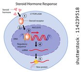 Steroid hormones action - stock photo